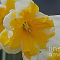 Narcissus 014-1 by Maria Urso