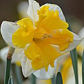 Narcissus 014-2 by Maria Urso
