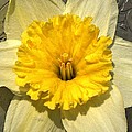 Narcissus by Chris Berry
