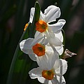Narcissus Evening Glow by Maria Urso