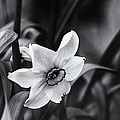 Narcissus In The Shadows by Susan Capuano