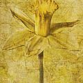 Narcissus Pseudonarcissus by John Edwards