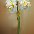 Narcissus Soft by Lutz Baar