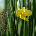 Narcissus Tripartite With Bronze Fennel by Rebecca Sherman