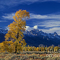 Narrowleaf Cottonwoods Fall Color Teton by Dave Welling