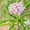 Narrowleaf Milkweed by Rich Leighton