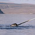 Narwhal Surfacing Baffin Isl Canada by Flip Nicklin