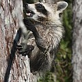 Nasty Raccoon In A Tree by Christiane Schulze Art And Photography