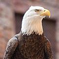 American Bald Eagle by John Black