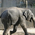 National Zoo - Elephant - 12126 by DC Photographer