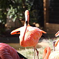 National Zoo - Flamingo - 01133 by DC Photographer