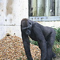 National Zoo - Gorilla - 121242 by DC Photographer