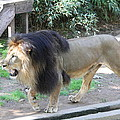National Zoo - Lion - 011311 by DC Photographer