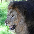 National Zoo - Lion - 011312 by DC Photographer
