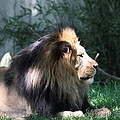 National Zoo - Lion - 011318 by DC Photographer