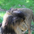 National Zoo - Lion - 01132 by DC Photographer