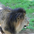National Zoo - Lion - 01133 by DC Photographer