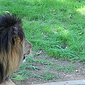 National Zoo - Lion - 01134 by DC Photographer