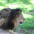 National Zoo - Lion - 01135 by DC Photographer