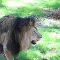 National Zoo - Lion - 01136 by DC Photographer