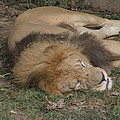 National Zoo - Lion - 12121 by DC Photographer