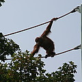 National Zoo - Orangutan - 12122 by DC Photographer