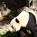 National Zoo - Panda - 011321 by DC Photographer