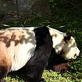 National Zoo - Panda - 011328 by DC Photographer