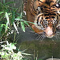 National Zoo - Tiger - 011310 by DC Photographer