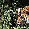 National Zoo - Tiger - 011311 by DC Photographer