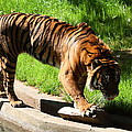 National Zoo - Tiger - 011319 by DC Photographer