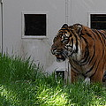 National Zoo - Tiger - 011323 by DC Photographer