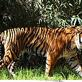 National Zoo - Tiger - 01138 by DC Photographer