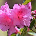 Native Roseshell Azalea by Maria Urso