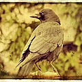 Natural Crow by Gothicrow Images