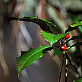 Natural Holly Decor by Bill Swartwout Fine Art Photography