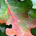 Natural Oak Leaf Abstract by Maria Urso