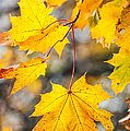 Natural Patchwork. Golden Mable Leaves by Jenny Rainbow