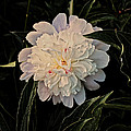 Natural Peony by Sherman Perry