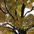 Natural Sunburst Through Autumn Tree by Minding My  Visions by Adri and Ray
