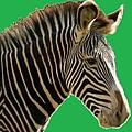 Natural Zebra by Bruce Nutting