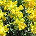 Naturalized Daffodils On The Farm by Conni Schaftenaar