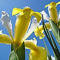 Nature Art Prints Yellow White Irises Flowers by Baslee Troutman