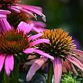 Nature Made Echinacea by Maria Urso