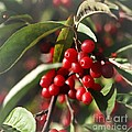 Natures Gift Of Red Berries by Jeremy Hayden