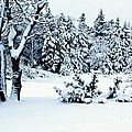 Natures Handywork - Snow Storm - Snow - Trees 2 by Barbara Griffin