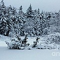 Natures Handywork - Snowstorm - Snow - Trees by Barbara Griffin