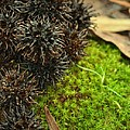 Nature's Moss And Sweetgum Pods by Maria Urso