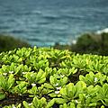 Naupaka Plant by Charmian Vistaunet