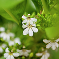 Naupaka Plant Flowers by Charmian Vistaunet